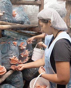 GERAL 035 Cultivo de cogumelos em Minas Gerais Foto: Cecília Pederzoli/ Agência Minas